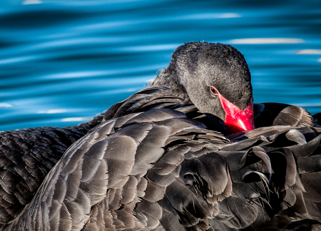 Beautiful Black Swan