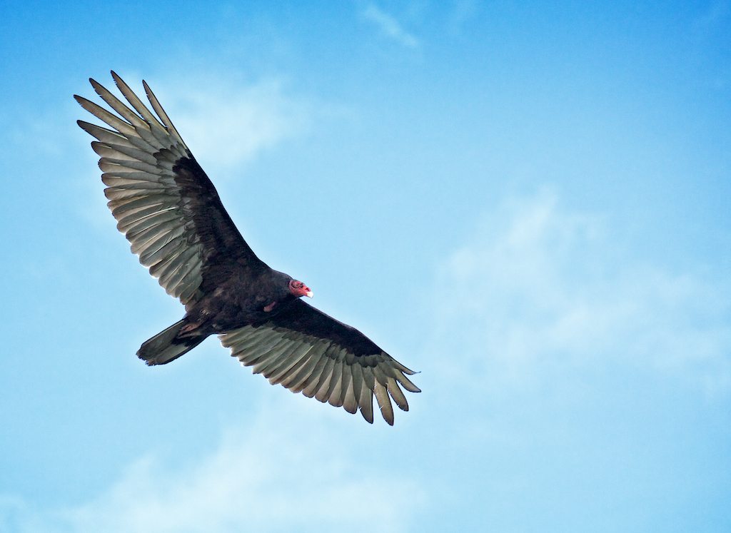 Graceful Flight of a Turkey Vulture